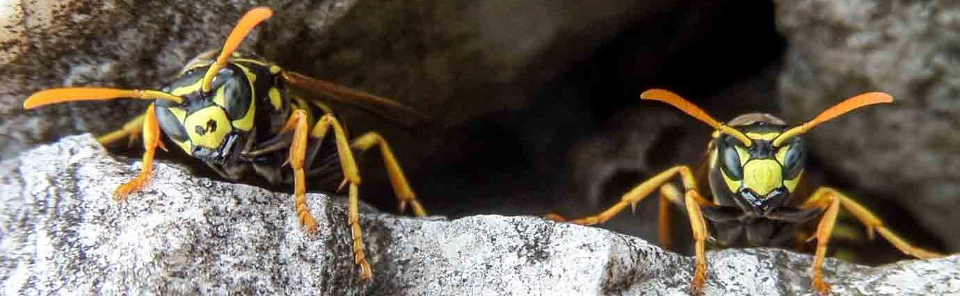 Wespen-Monat
